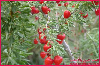 الفوائد العلاجية لنبات العوسج