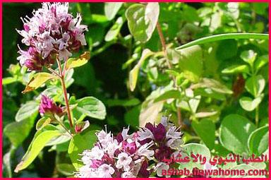 فوائد نبات البردقوش الطبية - الطب النبوي والاعشاب