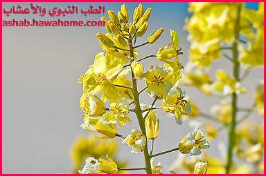 فوائد نبات الخردل